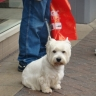 West Highland WhiteTerrier, country's favourite pet